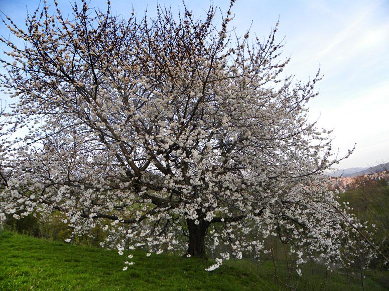 Árbol en flor. Fotografía Joseba Egaña. Bilbao. 2010.