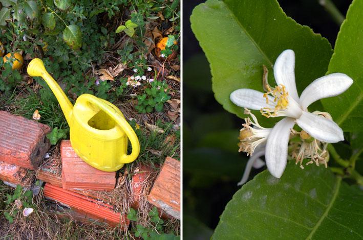 Flor de azahar y regadera